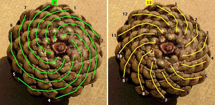 Fibonacci sequence as seen in pine cones