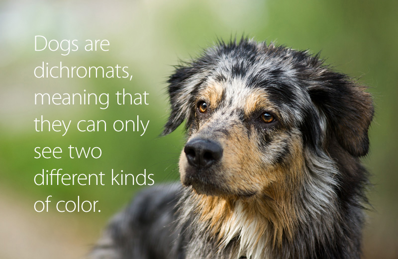 Dogs are dichromats, meaning they can only see two different kinds of color