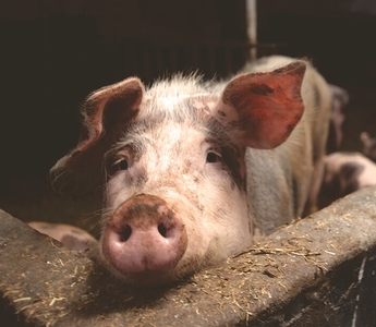 Hidden Pigs