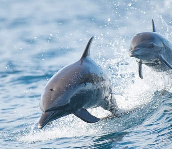 The Language of Dolphins