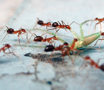 Digging Ants