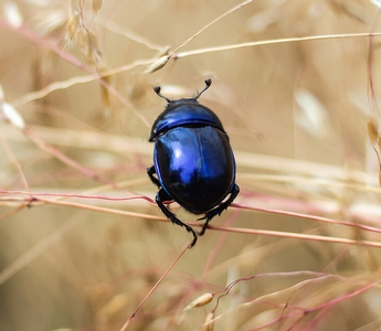 The Dance of the Dung Beetle